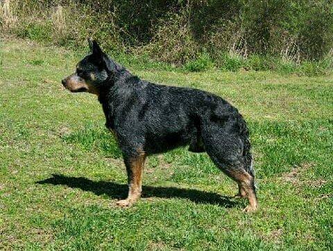 Glasshouse Kennel, Australian Cattle Dog