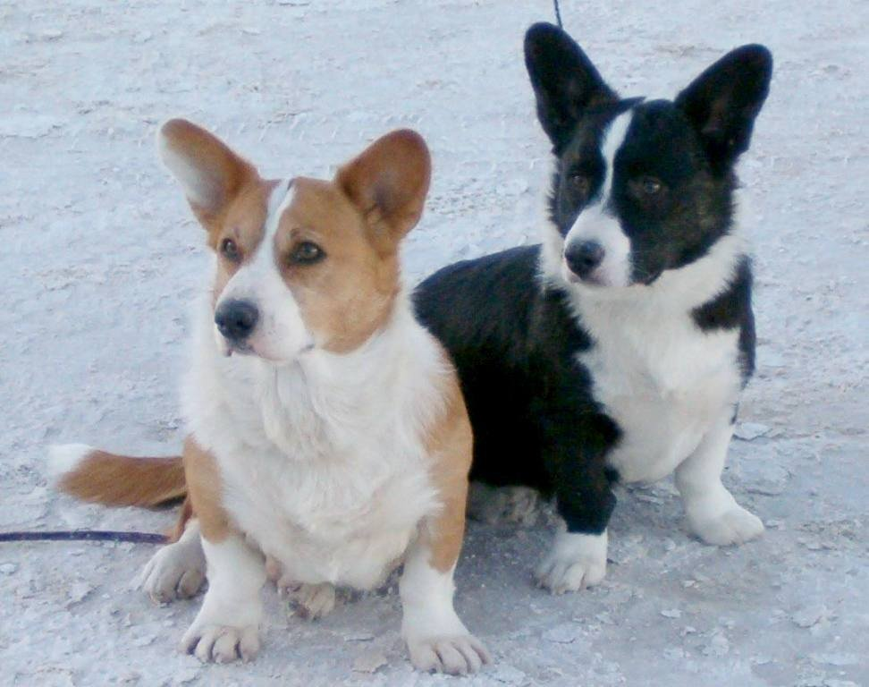 Glasshouse Kennel, Lori Frost, Cardigan Welsh Corgi and Australian Cattle Dogs